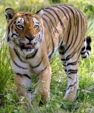 madhya_pradesh_tiger-647×363.jpeg