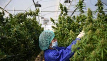 Thai-Cannabis-M-400×267.jpg